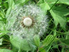 Dandelion (robin denton) Tags: dandelion seedhead flower weed wildflower macro nature