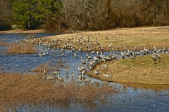 Sandhill Cranes (deanrr) Tags: morgancountyalabama wildlife sandhillcranes cranes water wheelerwildliferefuge decaturalabama alabama nature outdoor birds grass trees winter 2018 field bird animal landscape tree tamron18400