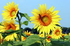 Monarch on Sunflower (pegase1972) Tags: monarch fleur flower papillon nature sunflower québec quebec qc canada summer licensed shutter fineartamerica 123rf fotolia dreamstime