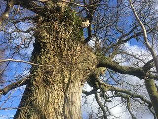 old oak from lane below