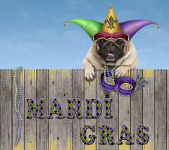 Mardi Gras pug dog (monicaclick) Tags: adorable advertisement animal background banner beads beautiful bright cap carnival celebrating celebration colorful comical costume cute diadem dog droll event fat feast festival festive funny gold gras green hat headgear holiday humorous isolated mardi mask masquerade media necklace new orleans party paws pet promoting promotional puppy purple smiling tuesday venetian white fence wooden wethered wood harlequin