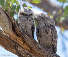 249A2915 (tonyclark468) Tags: tawny frogmouth canberra act
