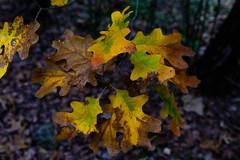 Autumn Leaves (thor_mark ) Tags: austinpark azimuth80 colorofleaves coloroftrees landscape lightroomedited nature nikond800e outside project365 stedwardspark stedwardsparkcreektrail trees austin tx unitedstates