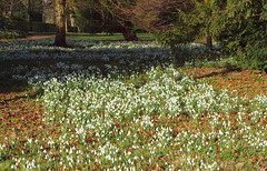 2018_02_0199 (petermit2) Tags: snowdrop snowdrops brodsworthhall brodsworth doncaster southyorkshire yorkshire englishheritage garden gardens heritage heritagegarden