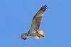Looking for Fish (Roy Lowry) Tags: ludo riaformosa faro flightshot osprey pandionhaliaetus