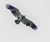 Spreading Immature Wings (John Kocijanski) Tags: hss immaturebaldeagle baldeagle eagle bird birdofprey raptor flying wings animal nature wildlife canon70300mmllens canon7d