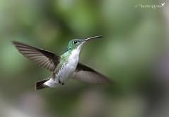 Esmeralda andina/ Andean emerald (Amazilia franciae) (Jacobo Quero) Tags: hummingbird andeanemerald esperaldaandina green andes ecuador bosquenublado cloudforest amaziliafranciae nature naturaleza wildlife animal bird ave colibrí