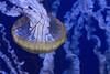 Float on (jacksainsbury) Tags: jellyfish blue yellow underwater pattern
