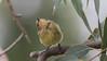 yellow thornbill (Acanthiza nana)-1474 (rawshorty) Tags: rawshorty birds canberra australia act symonston