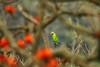 ID: Blossom Headed Parakeet (Ignore the Distance, Feel the Frame :) (shah_jaman) Tags: bird wildlife outdoor naturephotography nature naturelight frame nightlight naturecolor beautyofnature jamansphotography