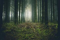 Stand (i-r-paulus) Tags: fernworthyforest pine fir forest sombre misty mist moody legacylens dartmoor devon manuallens