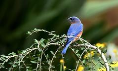 A joyful sound (blthornburgh) Tags: thornburgh tampa florida bird songbird blue joy garden nature backyard bluebird easternbluebirdsialiasialis sialiasialis easternbluebird