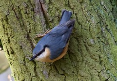 Nuthatch (1 of 3) - Taken at Sywell Country Park, Sywell, Northamptonshire. UK (Ian J Hicks) Tags: