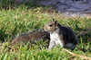 Who's watching who ? (asitrac) Tags: animal vertebrate mammal unitedstates usa northamerica americas amériques travel florida フロリダ floride eo asitrac rodentia sciuridae squirrel écureuil eo4 tpa saintpetersburg