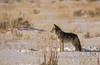 024A9372 (scepdoll) Tags: baldeagle grandtetonnationalpark jackson jacksonhole kelly wyoming backlitcoyote bisoncrossing bisoninheadlights coyote moose owl snow winter unitedstatesofamerica