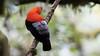234.1 Rode Rotshaan-20171108-J1711-64817 (dirkvanmourik) Tags: andeancockoftherock aves birdsofperu bosquenublado carreteraamanu gallitodelasrocasperuano nevelwoud peru2017 reisdagcuscomanu roderotshaan rupicolaperuvianus vogel