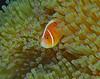 Pink Anemonefish (oceanzam) Tags: water fish anemone nemo scuba dive outdoors tropical bali nature light