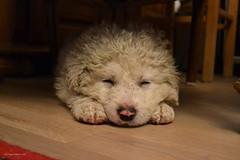 Dreaming... (Zsofia Nagy) Tags: 7daysofshooting week29 serene texturetuesday bojtos puppy dog kutya pet animal