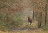 Coup de grisou (Eric Penet) Tags: animal sauvage cervidé cerf cerfelaphe cerfélaphe cervus mâle mammifère mammal mormal wildlife wild france faune forêt avesnois hiver janvier deer stag élaphe elaphus forest nord nature