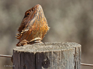 Bearded Dragon 3