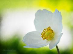 Lady Anemone (Karsten Gieselmann) Tags: 60mmf28 anemone blumen blüten bokeh dof em5markii frühling gelb grün jahreszeiten mzuiko microfourthirds natur olympus pflanzen schärfentiefe weis wonderland1 blossom flower green kgiesel m43 mft nature seasons spring white yellow burglengenfeld bayern deutschland