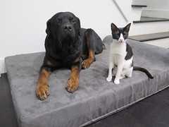 """""""120 lbs Bigz the rotweiller and his sister Moonlightz enjoying his new big barker bed. He loves it! Bigz never slept through he night in one spot would always get up and find different places to sleep. First night he had his big barker, slept the entire (BigBarker) Tags: rottweiler 1"""