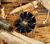 Fox Moth (gailhampshire) Tags: fox moth larvae macrothylacia rubi taxonomy:binomial=macrothylaciarubi