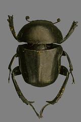 Breiter Pillendreher (planetvielfalt) Tags: coleoptera coprinae polyphaga scarabaeidae scarabaeiformia