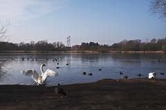 Berlin, Malchower See - Wasservögel (tom-schulz) Tags: x100f rawtherapee gimp berlin thomasschulz see wasser schilf wasservogel schwan