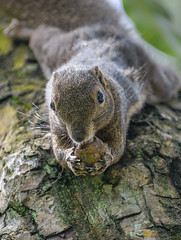 Oriental squirrel (Callosciurus notatus) (Robert-Ang) Tags: tree fruit squirrel orientalsquirrel plantainsquirrel tricoloredsquirrel wildlife nature japanesegarden singapore animalplanet