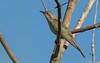 Horsfield's bronze cuckoo (Chrysococcyx basalis)-3296 (rawshorty) Tags: rawshorty birds canberra australia act jerrabomberrawetlands