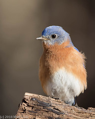Eastern Bluebird (Matt Cuda - www.mattcuda.com) Tags: 2018 bluebird animal bird birding birds blue county february forsyth nc northcarolina perch perched wildlife