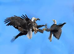 bald eagles combat 01 (Pervez 183A) Tags: baldeagles nikond3x nikon200500mmlens