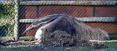 Anteater (littlestschnauzer) Tags: anteater chester zoo 2018 unusual walking outdoors enclosure outdoor hairy nature tourist attraction uk