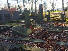 there is life on the graveyard (marieckejanssen) Tags: kerkhof graveyard chicken kip gras boom bird blindphotographer vlaardingen