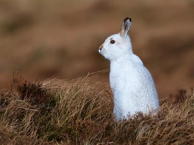 Mountain Hare image