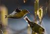 253.jpg (Kico Lopez) Tags: miño lugo spain rio birds spinusspinus aves galicia jilguerolúgano