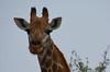 Portrait girafe South Africa_4038 (ichauvel) Tags: girafe portrait yeux eyes regard cils beautédelanature animal animalsauvage wildeanimal faune fauna afriquedusud southafrica parckruger krugerpark exterieur outside janvier january