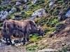 Yak in the Wild (Vibhutius) Tags: yak wild wildlife animal herbivore grass grazing beautifulnature nature fauna sikkim india northeast northeastindia wildanimal