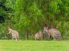 Kangaroos (Merrillie) Tags: nsw batemansbay kangaroo longbeach furry joey southcoast australia marsupial animals fauna wildlife newsouthwales animal