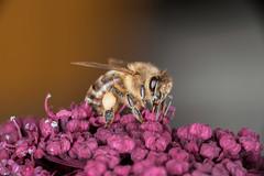 Lots and Lots of Food - _TNY_6357 (Calle Söderberg) Tags: macro canon canon5dmkii canonef100mmf28usmmacro canoneos5dmarkii raynox dcr250 flash ringflash yongnuo yn14ex bi honungsbi honeybee bee insect apis mellifera scopa magenta purple f19