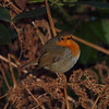 2017_12_0370 (petermit2) Tags: robin erithacusrubecula clumberpark clumber nottinghamshire sherwoodforest nationaltrust nt