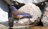 Western Bluebird -- Male (Sialia mexicana); Santa Fe National Forest, NM, Thompson Ridge [Lou Feltz] (deserttoad) Tags: nature newmexico bird wildbird songbird thrush bluebird mountain nest behavior
