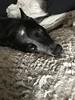 (iluveasycheese) Tags: cattledog furface dog kenny