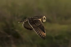 48/365  Short-eared Owl (pointnshoot) Tags: canonef600mmf4lisusm owl shortearedowl project365