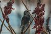 étourneau dans le vinaigrier (Sylvain Bédard) Tags: europeanstarling oiseau sturnusvulgaris animaux étourneausansonnet