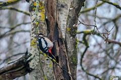 Mr Pic (Nu Mero) Tags: oiseau sigma150500 animaux nature neuveéglise grandest france fr