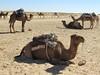 Douz Camels (D-Stanley) Tags: camels douz sahara tunisia