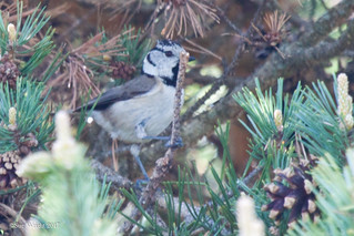 Crested Tit 20170503 3