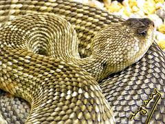 "Rattlesnake (ingcuevas) Tags: rattlesnake snake serpiente cascabel animal vibrant life nature natural texture scales head eyes beautiful dangerous pretty cute yellow ""nikonflickraward"""